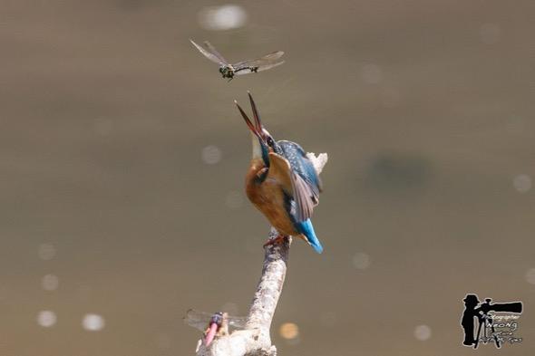KingfisherC-dragonfly [NeoNg] 1