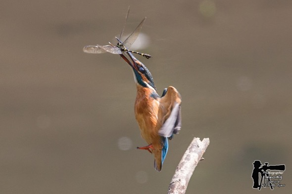 KingfisherC-dragonfly [NeoNg] 2