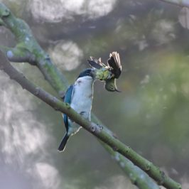 Collared Kingfisher caught a juvenile sunbird