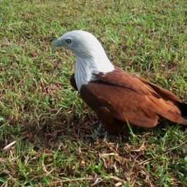 A close encounter with a Brahminy Kite…