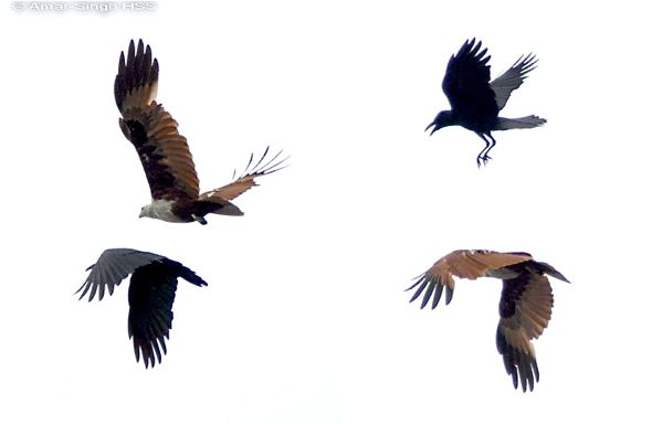 Brahminy Kite altercation with House Crow