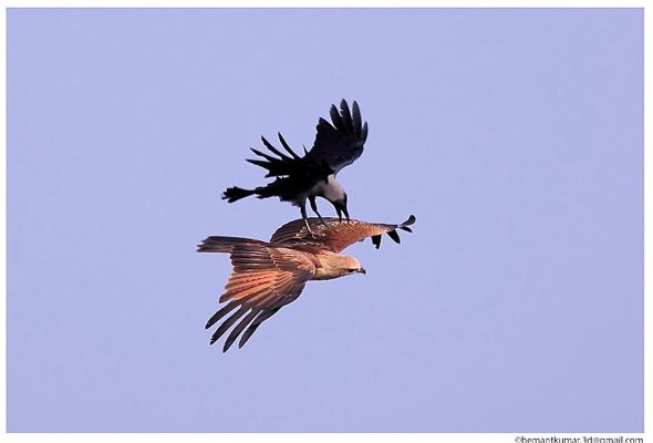 Brahminy Kite mobbed by a House Crow