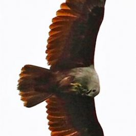 Brahminy Kite eating prey in flight