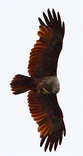 Brahminy Kite eating prey in flight