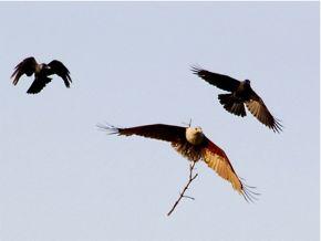 Failed Nesting of the Brahminy Kite