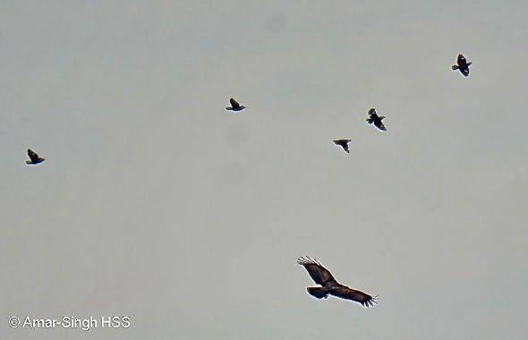 Brahminy Kite mobbed by Mynas
