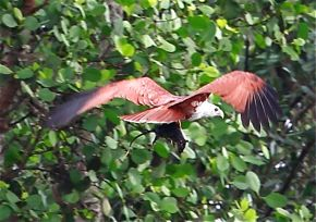 Brahminy Kite passing on prey in midair