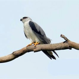 Black-shouldered Kite caught a Garden Supple Skink