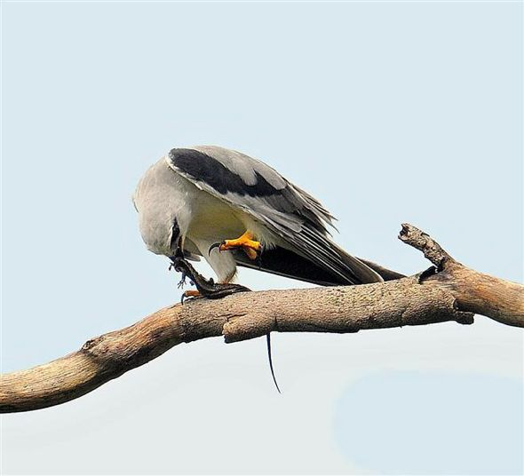 Black-shouldered Kite - lizard? (Photo credit: Johnny Wee)