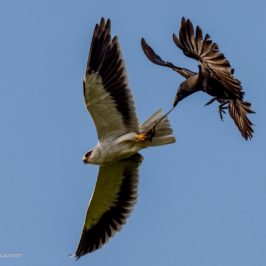 Black-winged Kite in hunting mode