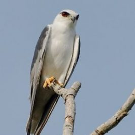 Mating Black-winged Kites