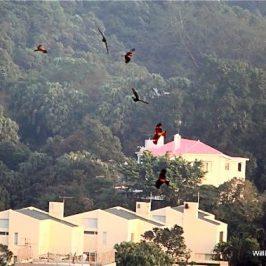 Black Kite Reunion