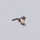 Black-shouldered Kites – aerial acrobatics