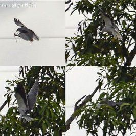 Nesting Black-shouldered Kite