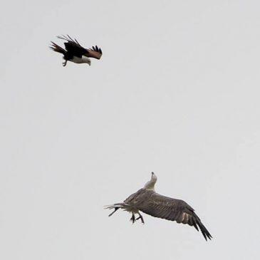 Brahminy Kite vs. White-bellied Sea-eagle
