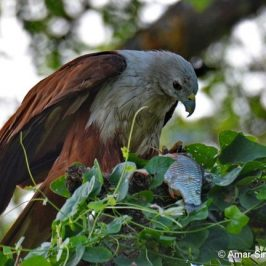 Brahminy Kite feeding on fish