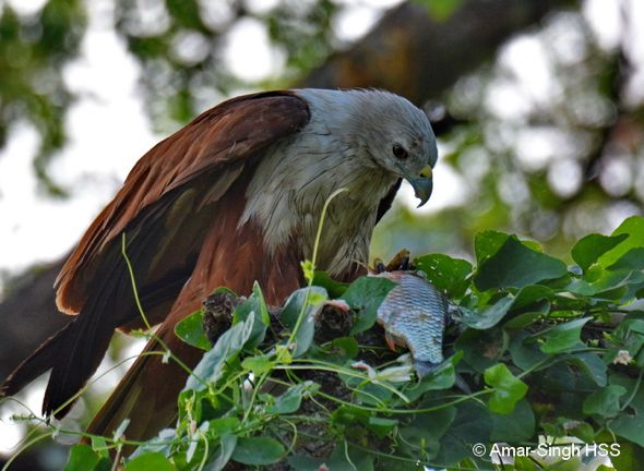 Brahminy Kite feeding on fish
