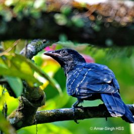 Asian Koel in the primary jungle feeding on fruits