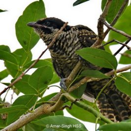 Brood-parasitic hosts for Asian Koel