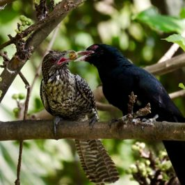 Asian Koel in courtship feeding