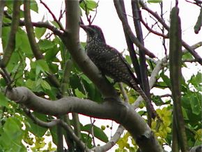 The Calls of the Asian Koel