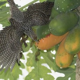 Asian Koel and the papaya fruits