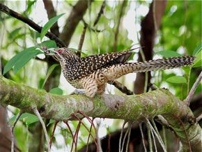 Asian Koel regurgitates pellet