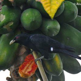 Asian Koel feeding on papaya