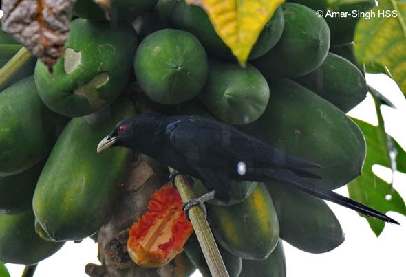 KoelA-papaya [AmarSingh]