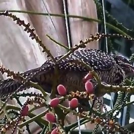 Asian Koel swallowing Alexandra Palm fruits