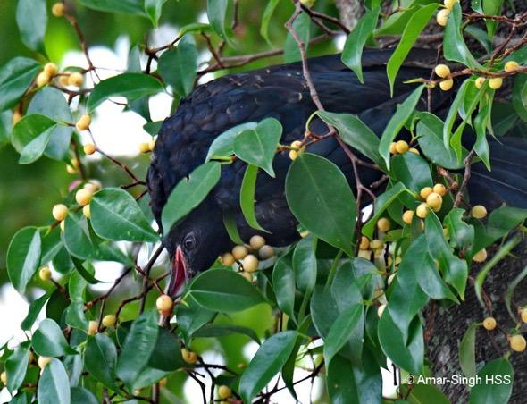 KowelA-brood parasite host [AmarSingh} 3