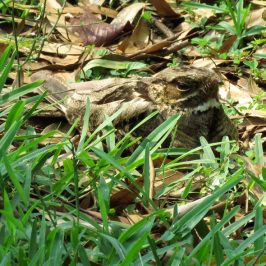 LARGE-TAILED NIGHTJAR ROCKING AND PANTING