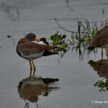 Grey-headed Lapwing – preening, bathing and feeding