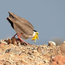 Cooperative action saved the family of Masked Lapwing