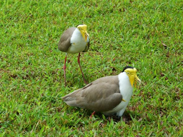 Breeding of Masked Lapwing in Singapore