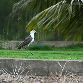 Masked Lapwing, six years on