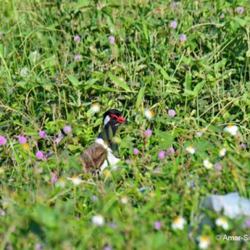 Rescue of the juvenile Red-wattled Lapwing