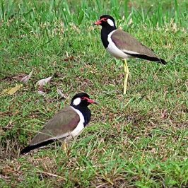 RED-WATTLED LAPWINGS WITH CHICK