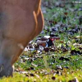 Red-wattled Lapwing vs horse