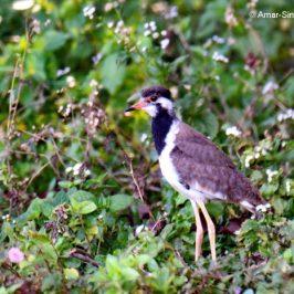 Red-wattled Lapwing  – juveniles & calls