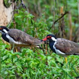 Red-wattled Lapwing – juveniles