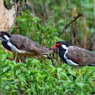 Red-wattled Lapwing – juveniles