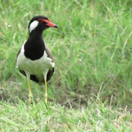 RED-WATTLED LAPWING – VOCALISATION