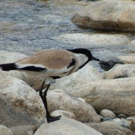 River Lapwing crouching when threatened
