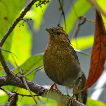Streaked Laughingthrush: A bird calling out