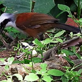WHITE-CRESTED LAUGHINGTHRUSH TACKLES HAIRY CATERPILLAR
