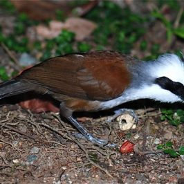 White-crested Laughingthrush eating a peanut