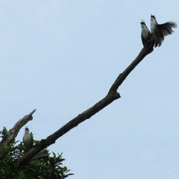 WHITE-CRESTED LAUGHINGTHRUSH – SERIOUS SINGING