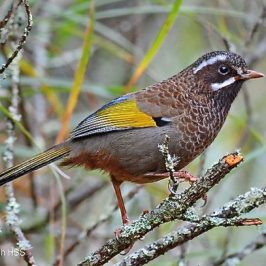 Birding in Taiwan: 11. White-whiskered Laughingthrush