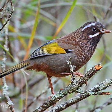 Birding in Taiwan: 11. White-whiskered Laughingthrush